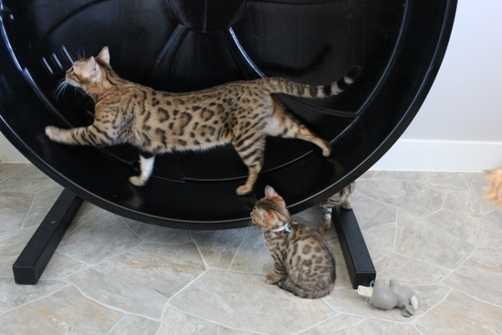 Brown spotted Bengal Cat On Cat Wheel