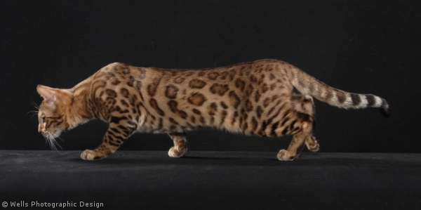 Brown rosetted Bengal Cat